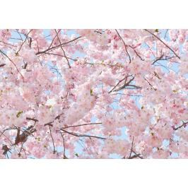 Wizard+Genius W+G fototapeta Růžové květy 366x254 cm